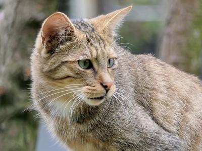 Warum haben wild lebende Katzen keine Allergien?